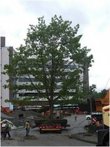 A 130,000-pound scarlet oak tree  salvaged and replanted on the Builidng Hope site.