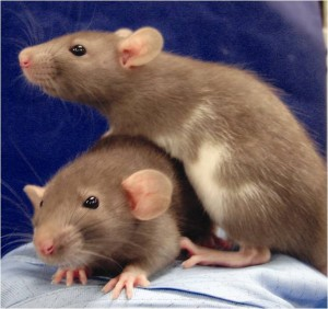 Dumbo rats from a lab at Kyoto University