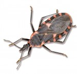 Triatomine bug